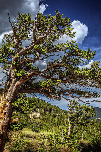 Photograph - Bristlecone Trees by Jeanette Fellows