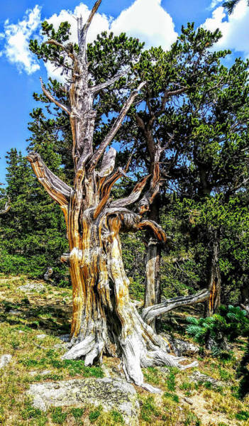 Photograph - Bristlecone1 2018 by Aaron Bombalicki