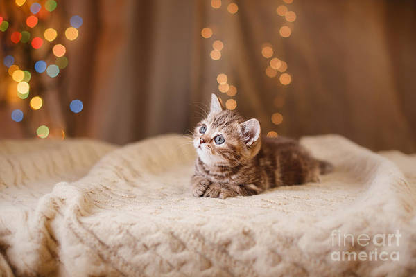 Wall Art - Photograph - British Kitten, Christmas And New Year by Dezy