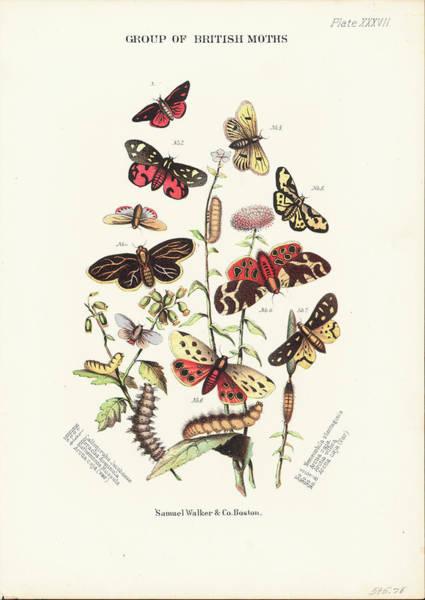 Vertical Garden Photograph - British Moths by Archive Photos