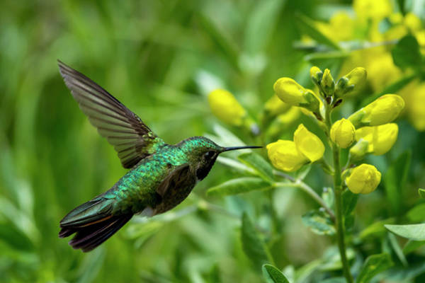 Photograph - Broad Billed Hummingbird by David Morefield