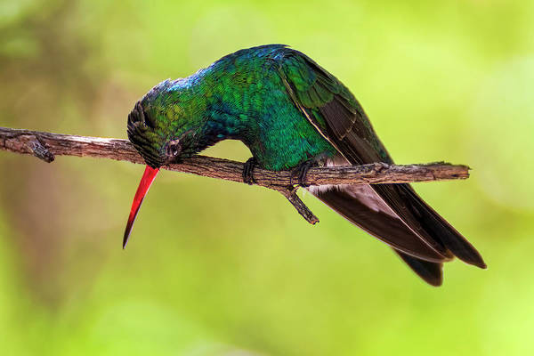 Photograph - Broad-billed Hummingbird H1817 by Mark Myhaver