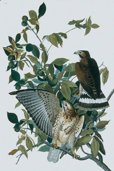 Accipitridae Wall Art - Digital Art - Broad-winged Hawks Buteo Platypterus by N A S.