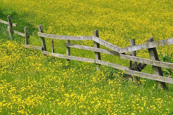 Fence Photograph - Broken Fence And Buttercup Field by Photos By R A Kearton