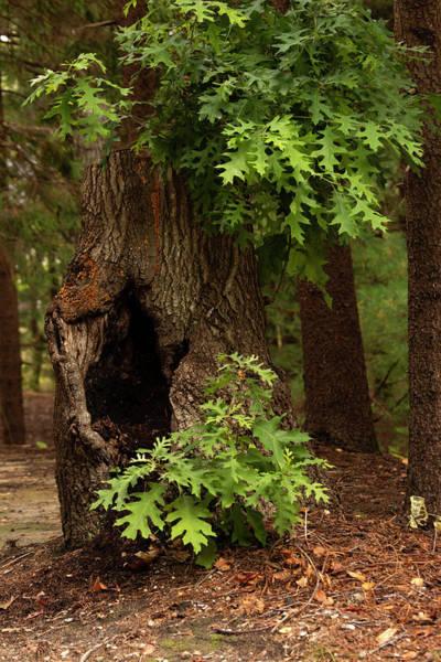 Wall Art - Photograph - Broken Oak Tree by Sharon Mayhak