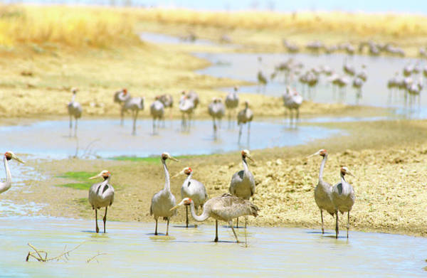 The Crane Photograph - Brolgas by Auscape/uig