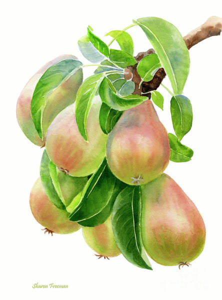 Bronze Painting - Bronze Pears With White Background by Sharon Freeman