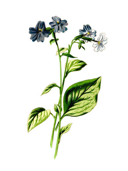 Mixed Media - Browallia Flower by Naxart Studio