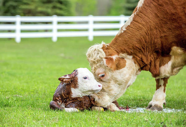 Photograph - Brown & White Hereford Cow Licking by Emholk