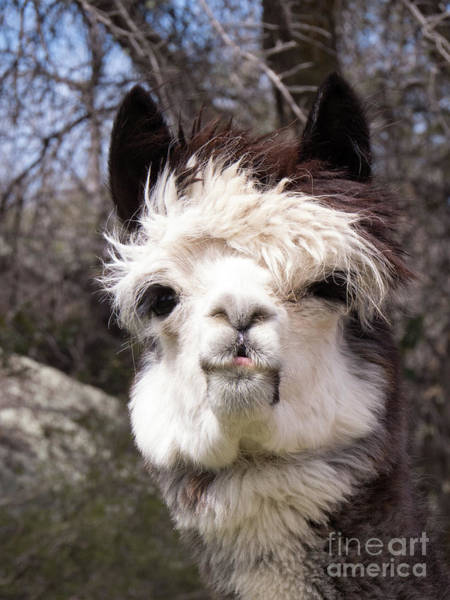 Photograph - Brown And White Alpaca Face by Christy Garavetto