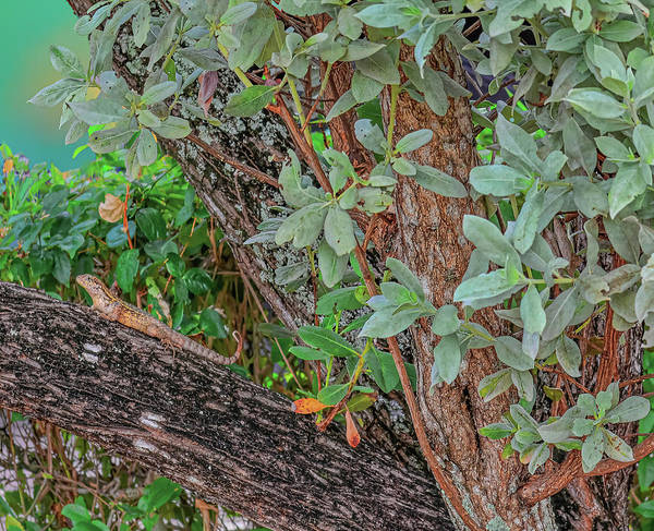 Brown Anole Wall Art - Photograph - Brown Anole In South Florida by Rebecca Carr