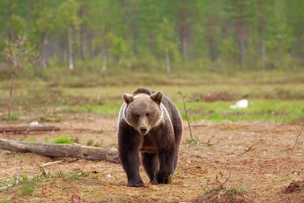 Bear Country Wall Art - Photograph - Brown Bear by Anzeletti