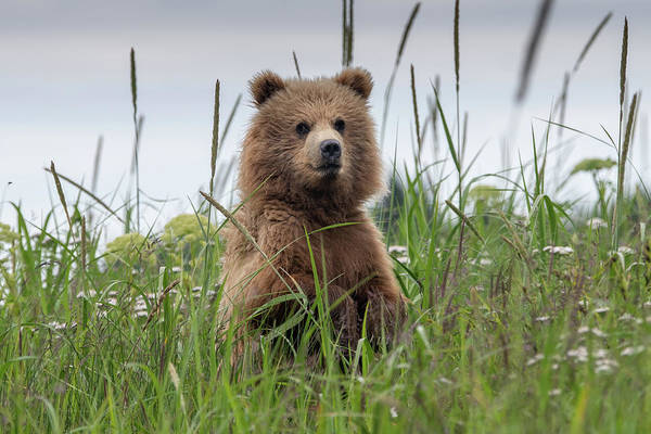 Photograph - Brown Bear Cub In A Meadow by Mark Hunter