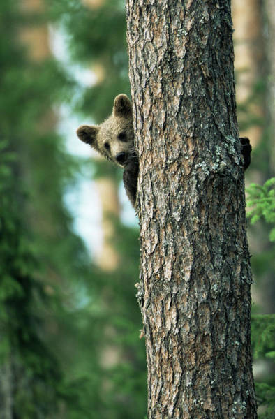 James Brown Photograph - Brown Bear Cub In Tree Ursus Arctos by James Warwick