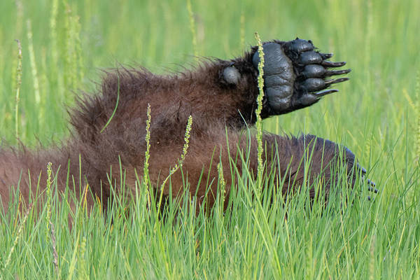 Photograph - Brown Bear Cub Paw by Mark Hunter