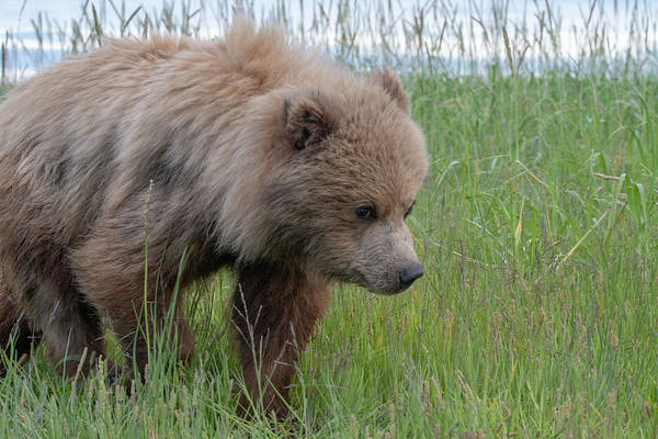 Photograph - Brown Bear Cub Walking By by Mark Hunter