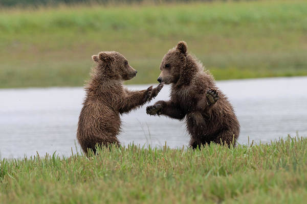 Photograph - Brown Bear Cubs Playing by Mark Hunter