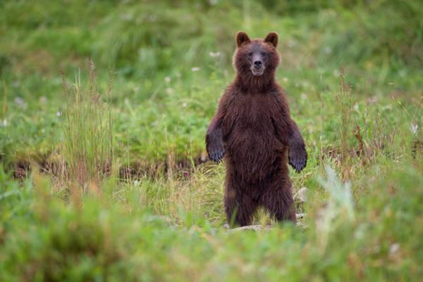 Wall Art - Photograph - Brown Bear In Coastal Meadow, Pybus by Paul Souders