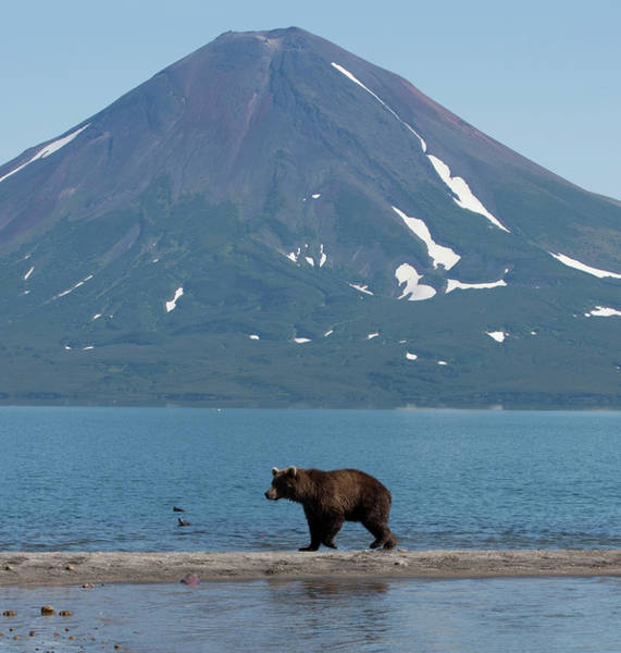 Kamchatka Photograph - Brown Bear In Front Of Volcano by Richard Mcmanus