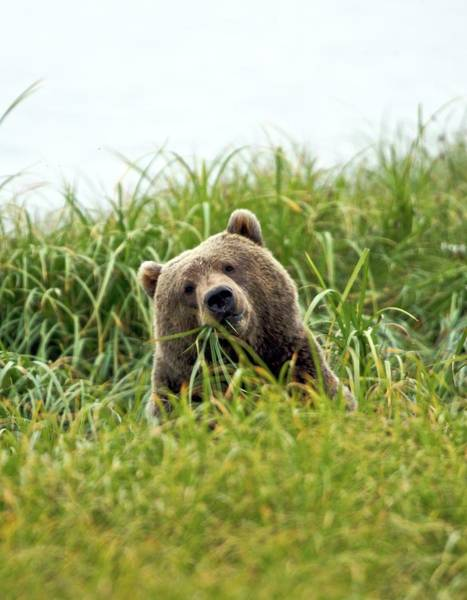 Urban Wildlife Photograph - Brown Bear  In Grass by Bucks Wildlife Photography