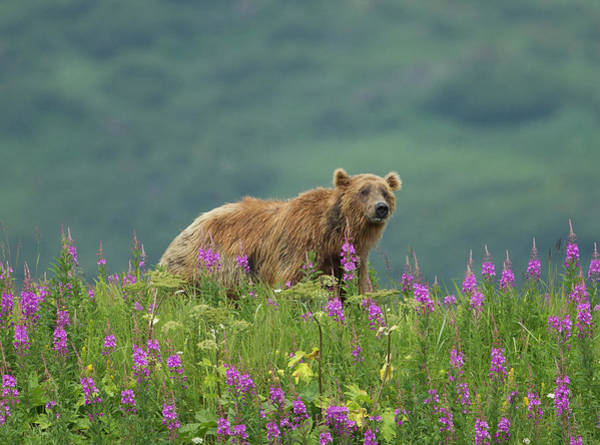 Born In The Usa Photograph - Brown Bear In Purple Flowers by Richard Mcmanus