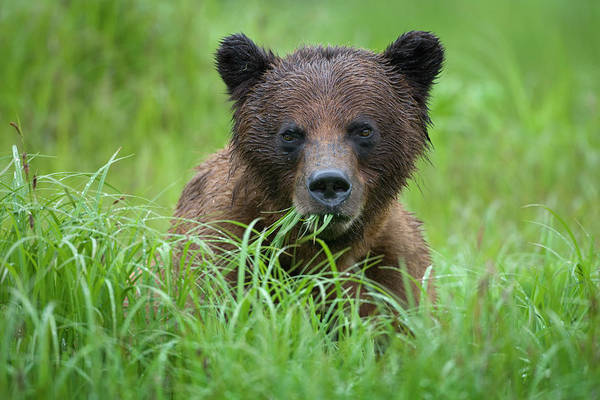 Born In The Usa Photograph - Brown Bear, Misty Fiords National by Paul Souders
