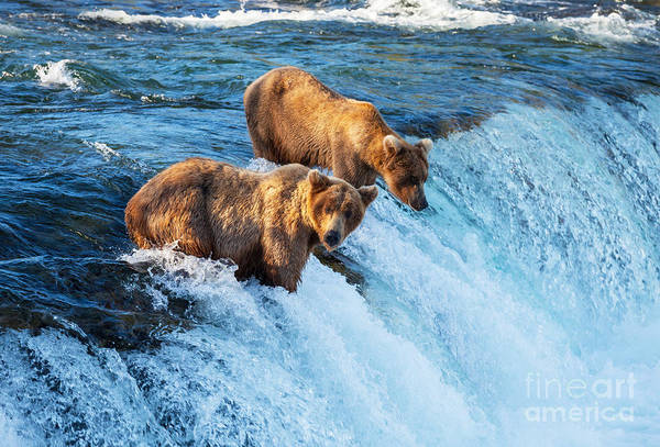 Camp Wall Art - Photograph - Brown Bear On Alaska by Galyna Andrushko