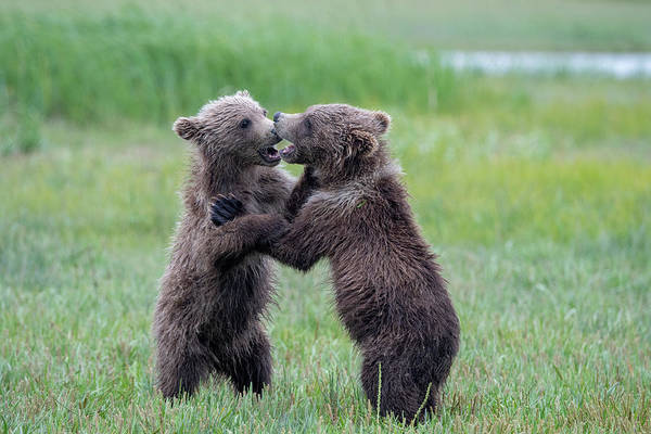 Photograph - Brown Bear Sibling Rivalry by Mark Hunter