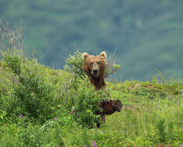 Born In The Usa Photograph - Brown Bear Standing In Bushes by Richard Mcmanus