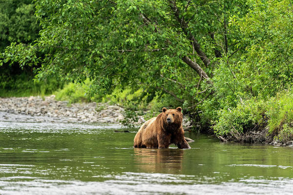 Wall Art - Photograph - Brown Bear  Ursus Arctos  Hunting by John Hyde