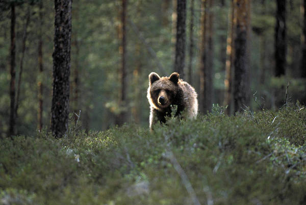 Vertebrate Photograph - Brown Bear, Ursus Arctos, Standing In by J-p Lahall