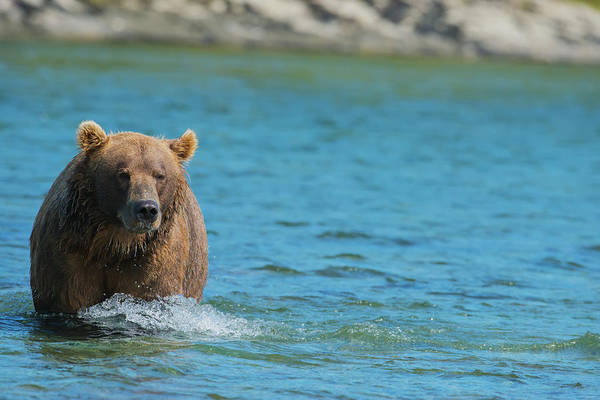 Born In The Usa Photograph - Brown Bear Ursus Arctos Walking In The by Lorraine Logan / Design Pics