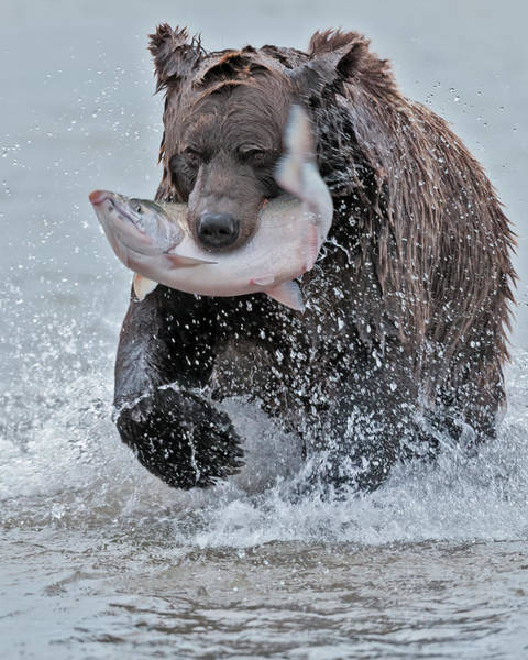 Bear Creek Photograph - Brown Bear With Salmon Catch by Gary Langley