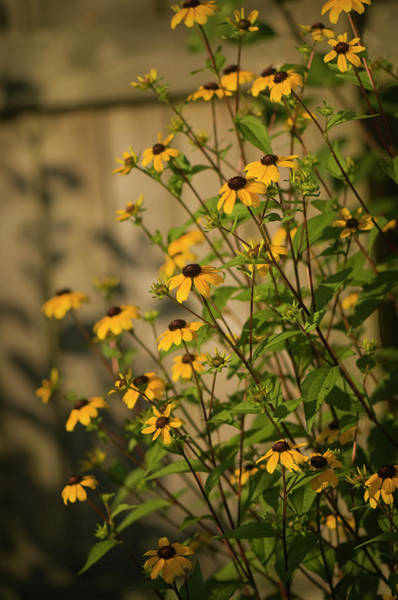 Rockville Photograph - Brown-eyed Susans In A Summer Cottage by Maria Mosolova