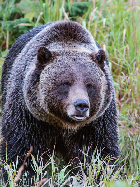 Wall Art - Photograph - Brown Grizzly Bear, Banff, Canada by Matteo Colombo