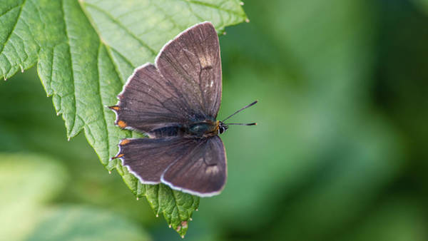 Photograph - Brown Hairstreak, The Male Is Dark Brown On The Upperside With O by Torbjorn Swenelius