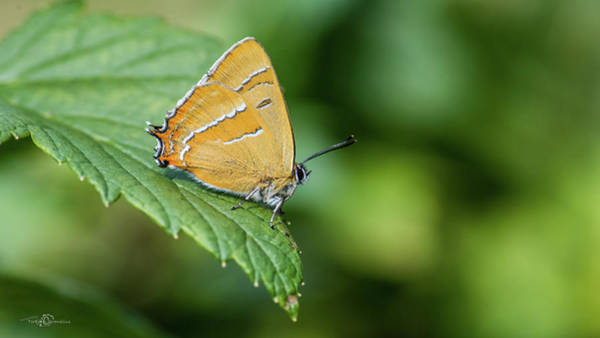 Photograph - Brown Hairstreak, The Male, On The Blackcurrent Leaf by Torbjorn Swenelius