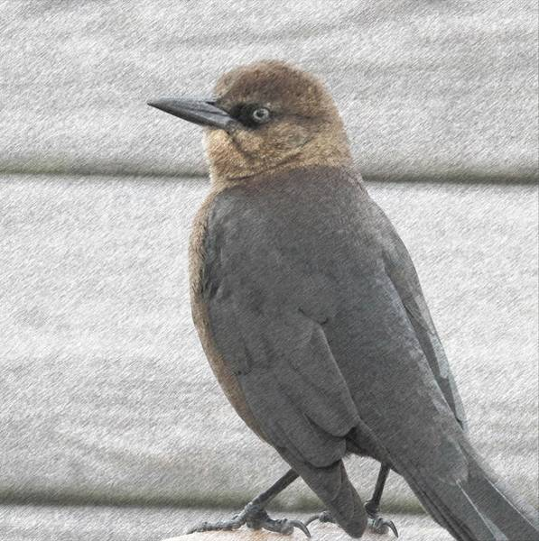 Molothrus Ater Photograph - Brown-headed Cowbird 5 by Cathy Lindsey