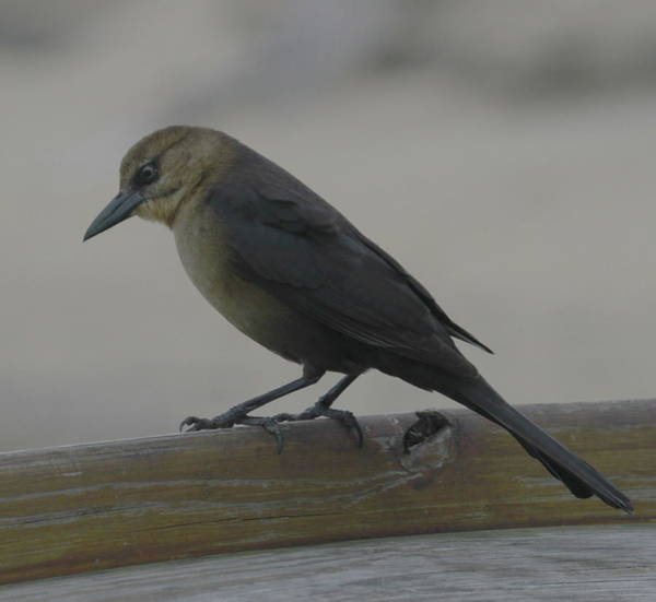 Molothrus Ater Photograph - Brown-headed Cowbird 7 by Cathy Lindsey