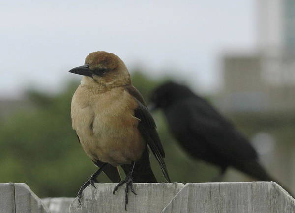 Molothrus Ater Photograph - Brown-headed Cowbird And Friend 3 by Cathy Lindsey