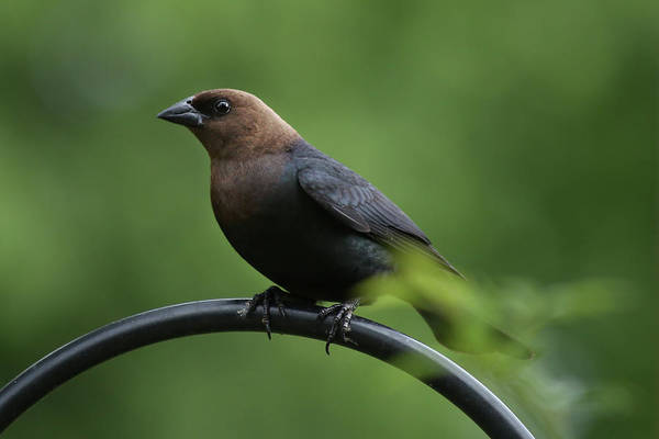 Molothrus Ater Photograph - Brown-headed Cowbird by Stamp City