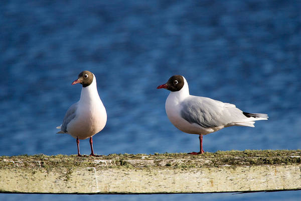 Wall Art - Photograph - Brown-hooded Gull by David Hosking