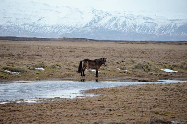 Wall Art - Photograph - Brown Icelandic Horse In Profile Near Stream by Shawn O'Brien