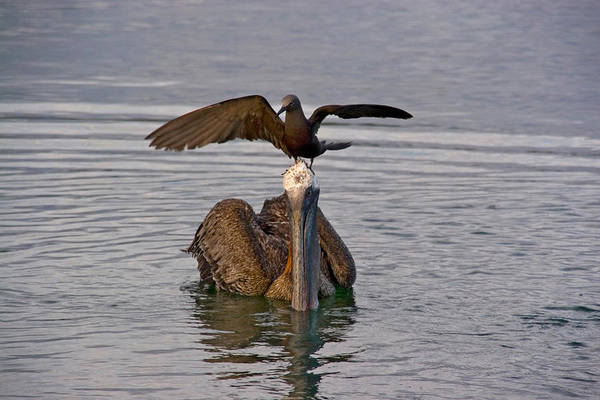 Wall Art - Photograph - Brown Noddy And Brown Pelican by David Hosking