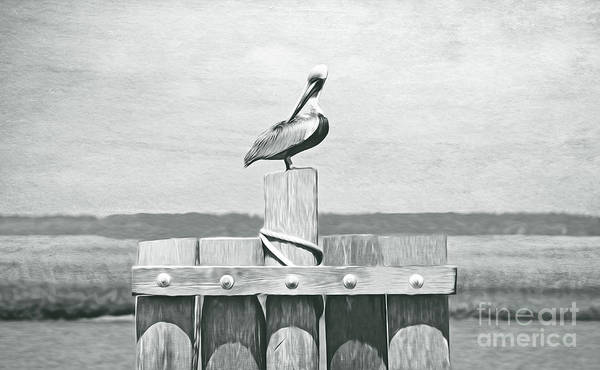 Wall Art - Photograph - Brown Pelican Bw by Laura D Young