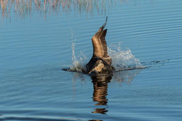Photograph - Brown Pelican Diving Or Food by Dan Friend
