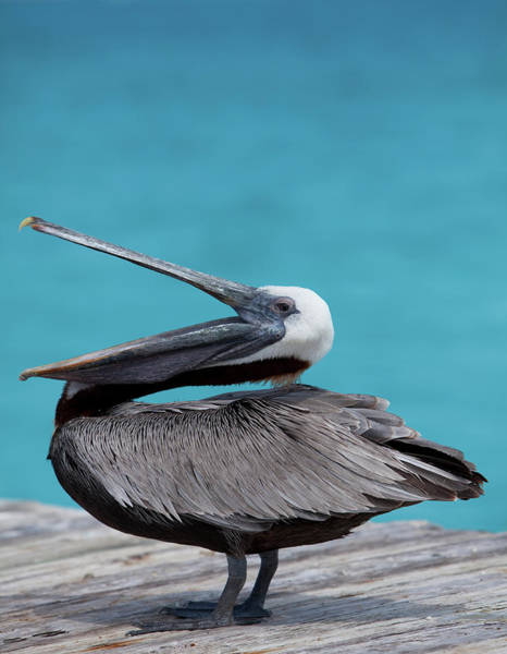 Pelican Wall Art - Photograph - Brown Pelican Dock, Caribbean by Chel Beeson