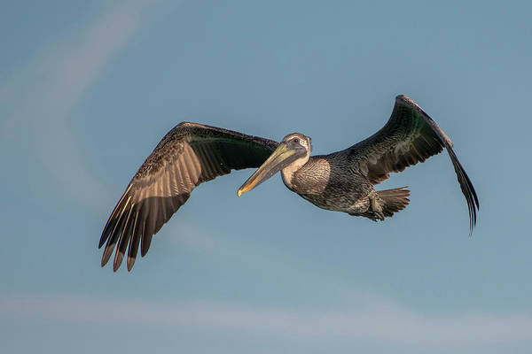 Photograph - Brown Pelican In Flight by Ken Stampfer