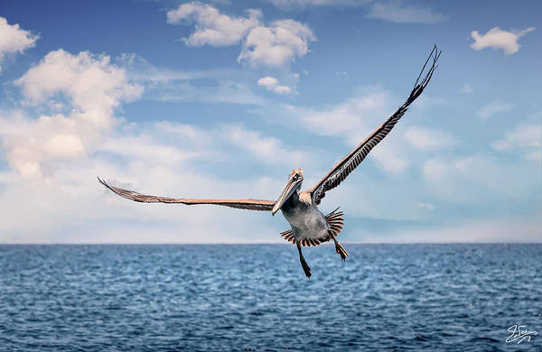 Photograph - Brown Pelican Number Three by Endre Balogh