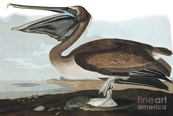 Wall Art - Painting - Brown Pelican, Pelecanus Fuscus By Audubon by John James Audubon